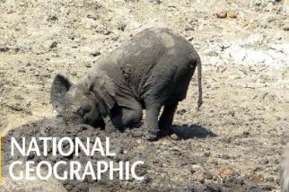 夏天炎熱難耐?快來跟小象在一起在泥巴中打滾吧!