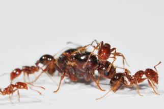 人蟻大戰出奇招:破解紅火蟻超級基因,誘騙工蟻暗殺蟻后