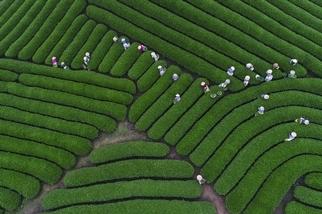 採茶的工人