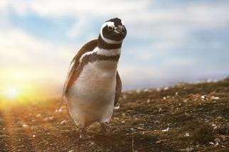 馬格達萊納島的企鵝