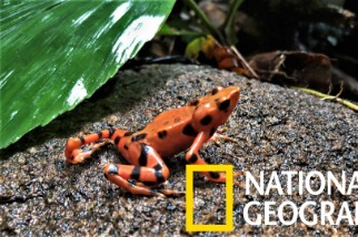 上百隻鮮豔小蛙有任務在身──拯救牠們的物種