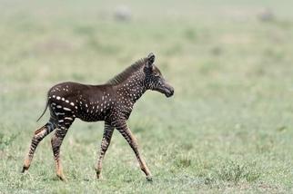 罕見「波卡點點」小斑馬現身肯亞,但牠的未來並不明確