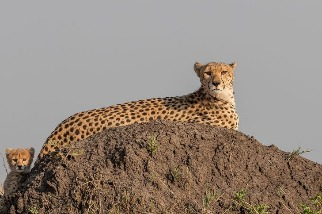 土丘上的獵豹母女