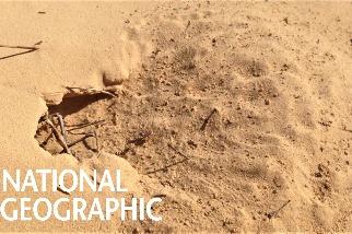 蟻界的「快銀」──撒哈拉銀蟻