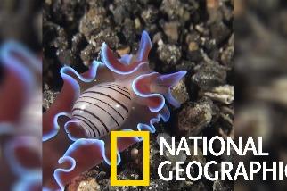 你有看過身體大得無法完全擠入殼內的「泡螺」嗎?