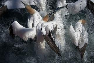 搶食的塘鵝