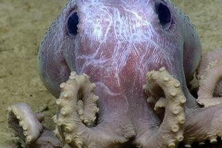 這種紫章魚棲息的深度愈深,體表就愈多「痘痘」