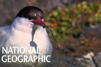 一年能經歷兩次夏季的鳥──北極燕鷗