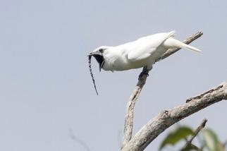 聽!地球上嗓門最大的鳥