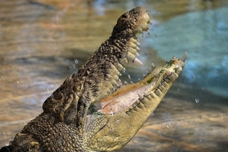 親睹河口鱷