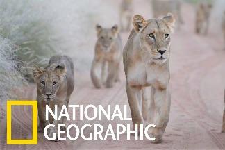 一口氣撫養七頭幼獅的堅強媽媽