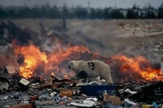 北極熊與垃圾堆