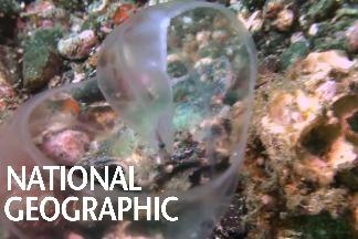 這片晶瑩剔透的生物是什麼海洋動物的寶寶?