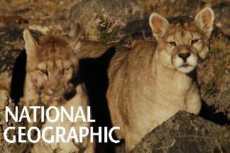 智利百內國家公園內的山獅寶寶