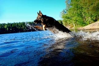 德國牧羊犬