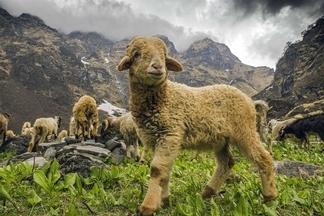 喜馬拉雅山的綿羊