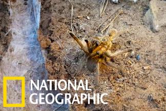 罕見的的毛蜘蛛交配過程