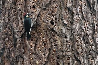 啄木鳥的「藏寶箱」