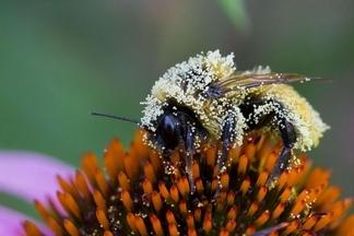 沾滿花粉的蜜蜂