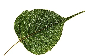 完美的葉子