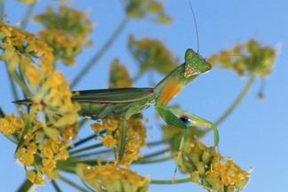 愛你愛到吃了你:螳螂的交配行為