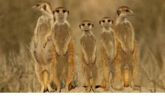 【動物好朋友】狐獴(Meerkat)