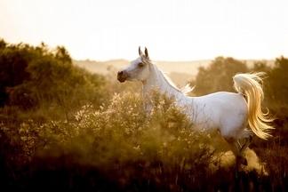 沙漠迷蹤:阿拉伯馬