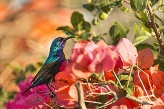 陽光之下:巴勒斯坦太陽鳥