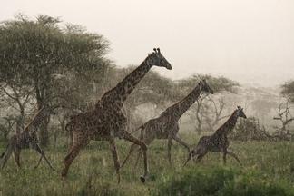 奔跑的長頸鹿