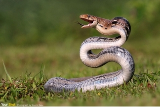 三索頜腔蛇