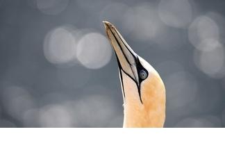 塘鵝與散景