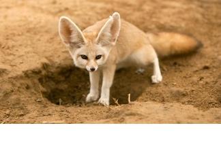 【動物好朋友】大耳狐(Fennec fox)