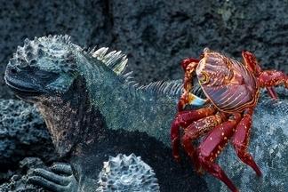 難得一見:螃蟹搭順風車