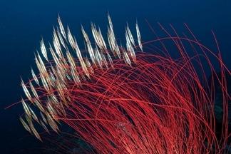 金布灣:條紋蝦魚