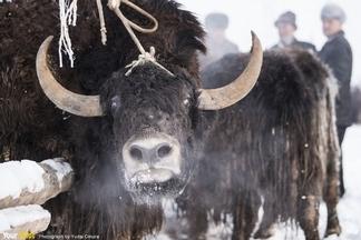 維吾爾族的犛牛