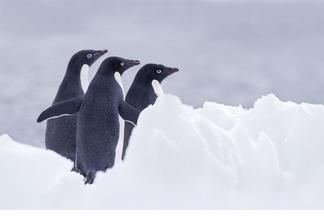 阿德利企鵝