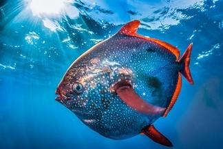 罕見重量級月魚 氣勢登場