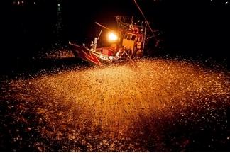 磺火之夜:捕青鱗魚
