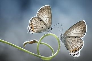 孿生之美:蝴蝶儷影