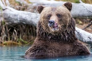 意猶未盡:棕熊