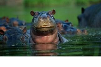 【動物好朋友】河馬(Hippopotamus)