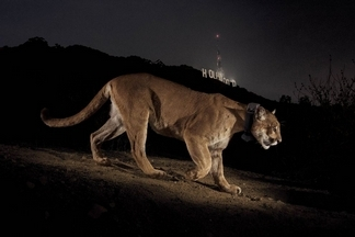 好萊塢美洲獅重出江湖