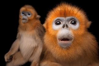 海洋公園:金絲猴