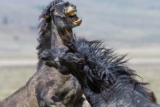 猶他州西部沙漠,打鬥中的野馬