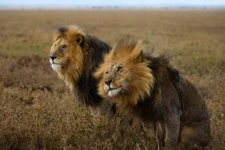 塞倫蓋蒂:獅子