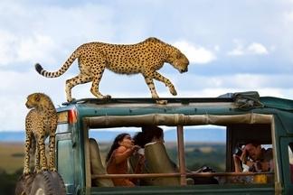 肯亞:獵豹與遊客