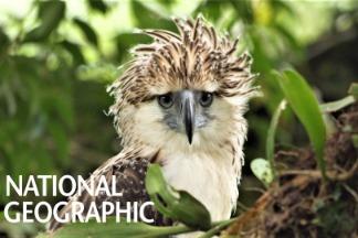 一睹雄偉、稀有的「鷹中之虎」──菲律賓鷹