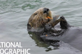 「敲」級可愛!看海獺如何用工具大啖蚌殼