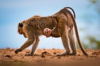 可愛小猴子享受搭便車