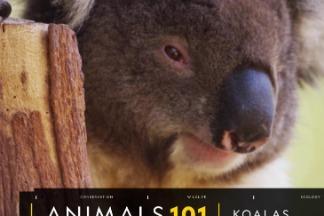 101動物教室:無尾熊